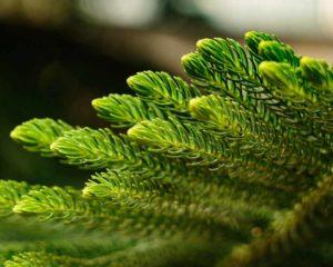arbol de navidad natural como conservarlo vivo